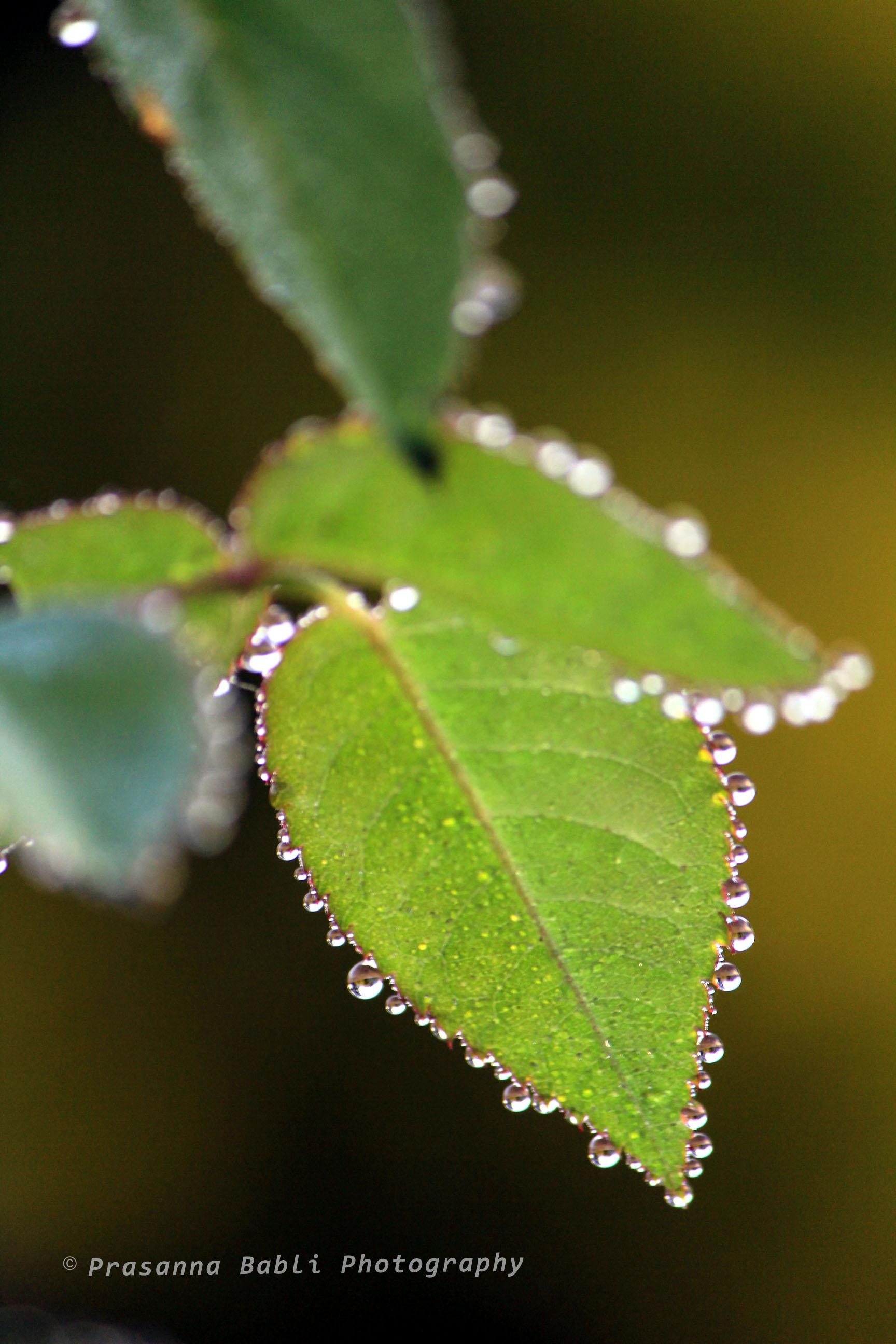 dewdrops on leaflet